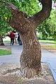 Софора японская плакучая в Одессе. Фото 7.jpg