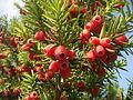 Тис ягодный (Taxus baccata).JPG