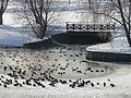 Утки на Царицынском пруду - panoramio.jpg