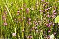 Цветы Валаама.jpg