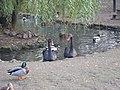 Чорні лебеді асканія 2011.jpg