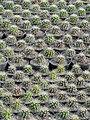 گلخانه کاکتوس دنیای خار در قم. کلکسیون انواع کاکتوس 45.jpg