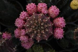 گونه های کاکتوس در گلخانه دنیای خار در قم 38.jpg