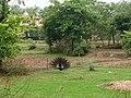 भारतीय मोर वर्षा ऋतु.jpg