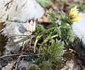 ミノコバイモ フクジュソウ Fritillaria japonica and Adonis ramosa.JPG