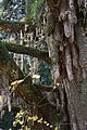 八畝の乳イチョウ - panoramio.jpg