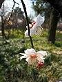 垂枝梅 Armeniaca mume v pendula -南京梅花山 Nanjing, China- (33310792911).jpg