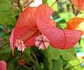 小金花葉子花 Bougainvillea hybrid -深圳蓮花山公園 Shenzhen Lianhuashan Park, China- (11204951264).jpg