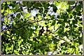 新緑のパターン - panoramio.jpg