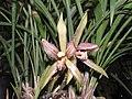 朵朵香(雲南春蘭) Cymbidium goeringii v forrestii -香港沙田國蘭展 Shatin Orchid Show, Hong Kong- (16793003621).jpg