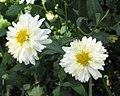 杭菊 Chrysanthemum morifolium -昆明世博園 Kunming Expo Garden, China- (9227115283).jpg