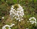 澤珍珠菜 Lysimachia candida -武漢木蘭花海樂園 Wuhan, China- (34125503262).jpg