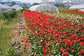 田边非洲菊 - panoramio.jpg