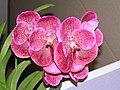 萬代蘭 Vanda Robert's Delight Dark Red -香港沙田洋蘭展 Shatin Orchid Show, Hong Kong- (9207600470).jpg
