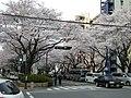西門の桜 - panoramio - hasano jp.jpg