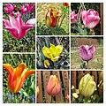 鬱金香 Tulipa cultivars 2 -武漢植物園 Wuhan Botanical Garden- (33344181981).jpg