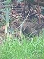 -2019-01-04 Female blackbird (Turdus merula), Trimingham (3).JPG