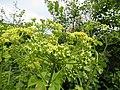 -2019-05-26 Wild parsnip (Pastinaca sativa), Trimingham.JPG