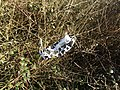 -2021-01-12 ,A discarded COVID-19 face mask, Mundesley cliffs, Norfolk.JPG