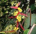 .Heliconia latispatha – Expanded Lobster Claw - Flickr - gailhampshire.jpg