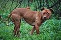 007 American Pit Bull Terrier.jpg