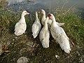 02590jfGatbuca Ducks Chapel Halls Gugo Calizon Calumpit Bulacan Roadsfvf 07.JPG