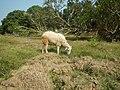 0306Sheep–goat hybrids 04.jpg