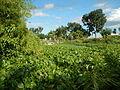 04506jfDomesticated Water Hyacinth Pescadores Poblacion Candaba Pampangafvf 18.JPG