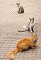 049-Bostan Narges ( گربه های ولگرد- cat).jpg