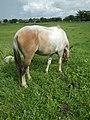 05559jfNative horses in grasslands Baliuag Bulacanfvf 29.jpg