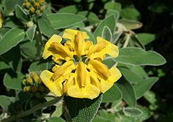 0 Phlomis fruticosa - Samoëns (2).JPG