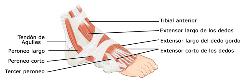 Archivo:1124 Intrinsic Muscles of the Foot a esp.png - Wikipedia, la ...