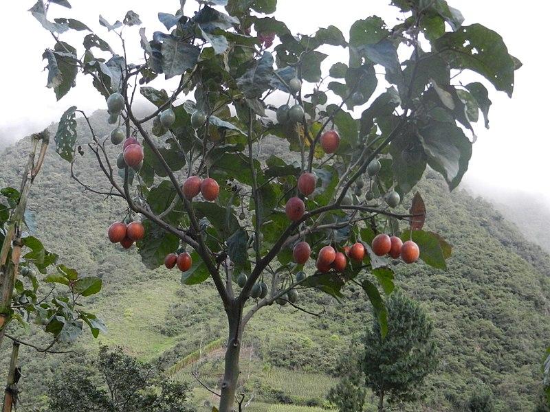 arbre aux tomates