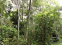 12 year old restoration plot Doi Suthep-Pui National Park N. Thailand.jpg