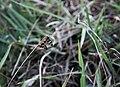 14. Eleuchia longwing.jpg