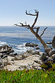 17-Mile Drive Dead Crypress 02 2013.jpg