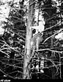 1963. 33 year old Sitka spruce climbed to determine incidence of weeviling. Ken H. Wright in photo. Cameras are Bronica 2-1 4 x 2 1 4 on left and Exacta 35 mm on right. Clatsop County, Oregon. (26208982387).jpg