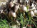 2005-12-14 Coprinopsis romagnesiana (Singer) Redhead, Vilgalys & Moncalvo 10285.jpg