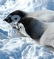 2007 Snow-Hill-Island Luyten-De-Hauwere-Emperor-Penguin-71.jpg