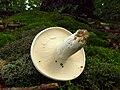 2011-07-13 Lactarius glaucescens 157834.jpg