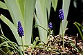 2011-365-103 Mamma, Pappa, and Baby Grape Hyacinth (5618366412).jpg