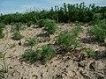 20120511Tripleurospermum inodorum2.jpg