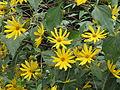 20130827Helianthus tuberosus5.jpg