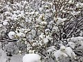 2014-06-17 09 11 17 Snow in June on immature Willow foliage and catkins at Roads End in Lamoille Canyon, Nevada.jpg