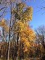 2014-11-02 13 52 37 Hickory during autumn along Poor Farm Road in Hopewell Township, New Jersey.JPG