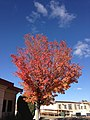 2014-11-03 13 58 46 Callery Pear during autumn along Chilton Circle in Elko, Nevada.JPG