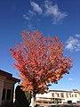 2014-11-03 13 58 46 Callery Pear during autumn along Chilton Circle in Elko, Nevada.JPG