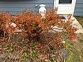 2014-12-20 13 15 25 Azalea cultivar 'Rosebud' during early winter along Terrace Boulevard in Ewing, New Jersey.JPG