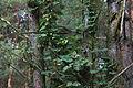 20140914 cc las nowa wies humulus lupulus female-adj-adj.jpg