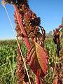20141018Amaranthus retroflexus2.jpg